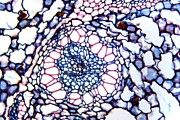 Rhizome Prints - Acorus Calamus Rhizome, Light Micrograph Print by Dr Keith Wheeler