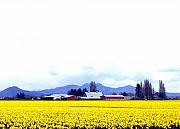 Yellow Barn Acrylic Prints - Acres Of Daffodils Acrylic Print by Will Borden