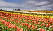 Colorful Tulips Prints - Across colorful fields Print by Mike  Dawson