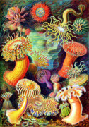 Husband Drawings Posters - Actiniae Sea Anemones Poster by Ernst Haeckel