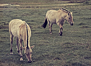 Foal Framed Prints - Action Framed Print by Odd Jeppesen
