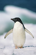 Wild Metal Prints - Adelie Penguin, Close-up Metal Print by Tom Brakefield