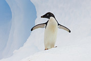 Color Stretching Framed Prints - Adelie Penguin On Iceberg Framed Print by Suzi Eszterhas