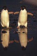 Frontal Metal Prints - Adelie Penguin Pygoscelis Adeliae Pair Metal Print by Tui De Roy
