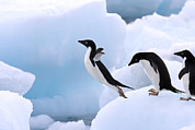 Animals And Earth Metal Prints - Adelie Penguin Pygoscelis Adeliae Metal Print by Stephen Belcher