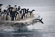 Ilcp Acrylic Prints - Adelie Penguin Pygoscelis Adeliae Acrylic Print by Tui De Roy