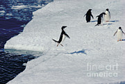 Flocks Posters - Adelie Penguin Rocketing Onto Pack Ice Poster by Gregory G. Dimijian
