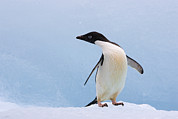 Color Stretching Posters - Adelie Penguin Standing on Iceberg Poster by Suzi Eszterhas