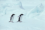 The Penguin Prints - Adelie Penguins, Antarctica Print by Chris Sattlberger