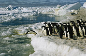 Edge Prints - Adelie Penguins Line Up To Dive Print by Maria Stenzel