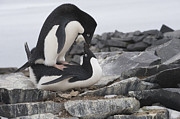 Spheniscidae Prints - Adelie Penguins Mating  Antarctica Print by Flip Nicklin