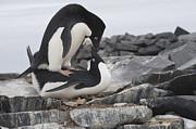 Adelie Penguins Mating  Antarctica Print by Flip Nicklin