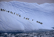 Icebergs Art - Adelie Penguins Totter Single File by Des &Amp Jen Bartlett