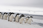 Featured Acrylic Prints - Adelie Penguins Walking On Ice Acrylic Print by Flip Nicklin