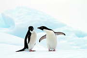 Two Animals Framed Prints - Adélie Penguins Framed Print by Angelika Stern