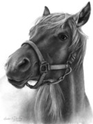 Tennessee Walker Drawings - Adolescent Grin - Ranger by Susan Donley