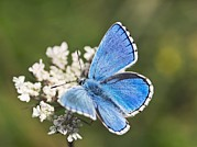 Food Source Prints - Adonis Blue Butterfly Print by Adrian Bicker