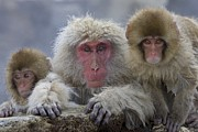 Macaques Prints - Adult and two young Print by Roy Toft
