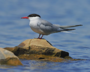 Breeding Posters - Adult Common Tern Poster by Tony Beck