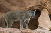 Paws Framed Prints - Adult cougar Framed Print by Melody and Michael Watson