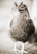 Free Range Hens Framed Prints - Adult female bird Framed Print by Lars Hallstrom