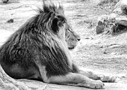 Zoo Photos - Adult Male Lion by Scott Hansen