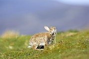 Chin Up Photo Prints - Adult Rabbit Marking Scent Print by Duncan Shaw