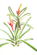 Epiphyte Painting Prints - Aechmea nudicaulis   Print by Penrith Goff