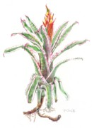Epiphyte Painting Prints - Aechmea orlandiana Ensign Print by Penrith Goff