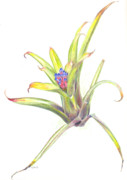 Epiphyte Painting Prints - Aechmea suenos Print by Penrith Goff