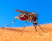 Biting Tapestries Textiles - Aedes Aegypti Mosquito by Science Source