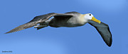 Waved Albatross Photos - Aerial Albatross by Larry Linton
