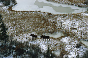 Bull Moose Prints - Aerial Of A Male And Female Moose Print by Norbert Rosing