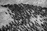 Featured Posters - Aerial View Of A Herd Of African Poster by Beverly Joubert