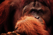 Primate Photo Prints - Aetiology Print by Andrew Paranavitana