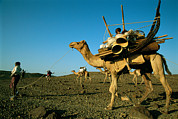 Camel Photos - Afar People Carry Their Belongings by Carsten Peter