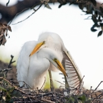 Great Egret Posters - Affectionate Chicks Poster by Kenneth Albin