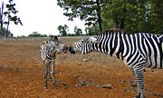 Zebras Photos - Affectionate Mother by Douglas Barnard