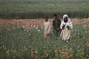 Pods Framed Prints - Afghan Farmers Walk Their Poppy Fields Framed Print by Everett