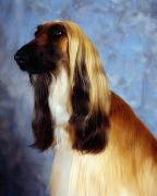Dog Head Posters - Afghan Hound Poster by The Irish Image Collection