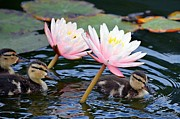 Baby Mallards Photo Posters - Afloat Among Lillies Poster by Fraida Gutovich
