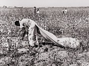 Cotton Picking Posters - African American Day Laborer Picking Poster by Everett