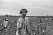 Cotton Picking Posters - African American Girl Picking Cotton Poster by Everett