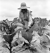 Candid Portraits Prints - African American Woman Farming Print by Everett