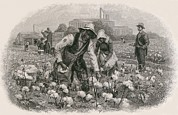 Cotton Picking Posters - African Americans Pick Cotton Poster by Everett