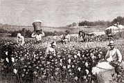 African-americans Metal Prints - African Americans Picking Cotton Metal Print by Everett