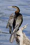 South African Prints - African Anhinga Print by Peter Chadwick