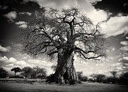 African Baobabs Tree Print by Jess Easter