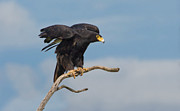 Bird Of Prey Originals - African Black Eagle by Basie Van Zyl