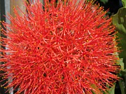 Jem Fine Arts Photos - African Blood Lily or Fireball Lily by J McCombie